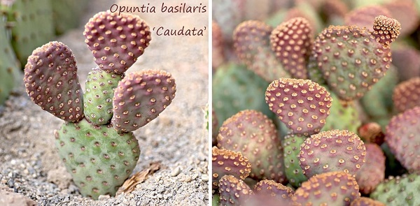 opuntia basilaris 'Caudata' - cold hardy flowering prickly pear cactus