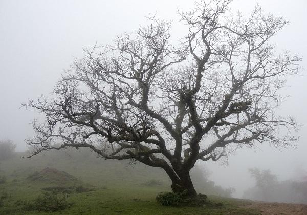 dormant tree in winter mist