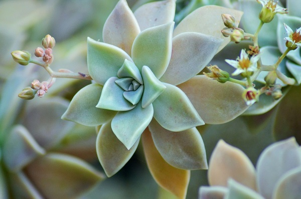 Graptopetalum paraguayense, the ghost plant succulent with flowers