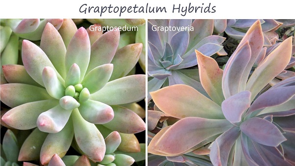 graptopetalum hybrods graptosedum and graptoveria