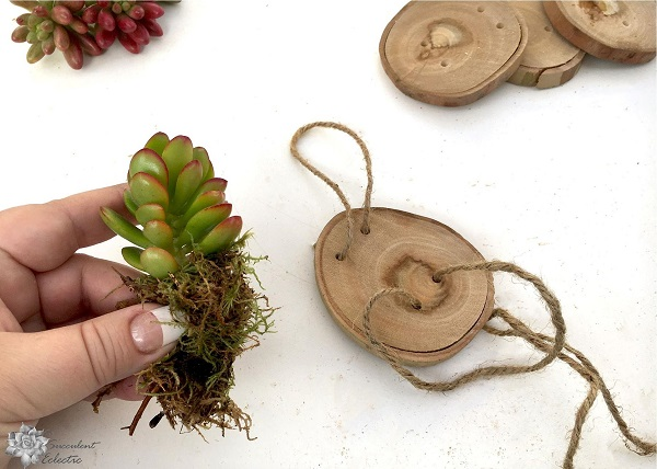 wrap succulent cuttings with moss to add to wood slice ornaments
