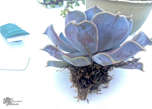 echeveria with roots wrapped in moss for ornament hanger