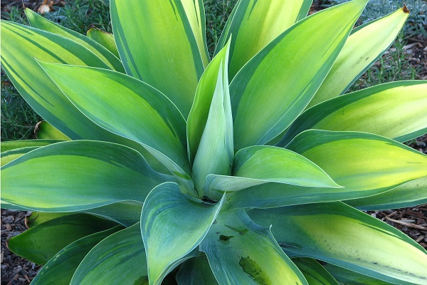blue green variegated agave, closeup