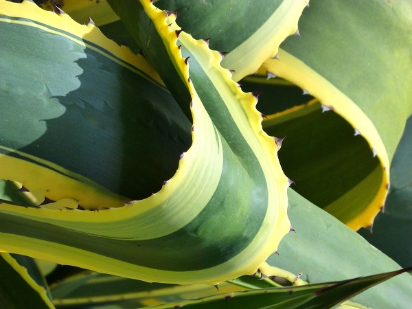 closeup of variegated agave foliage with spines