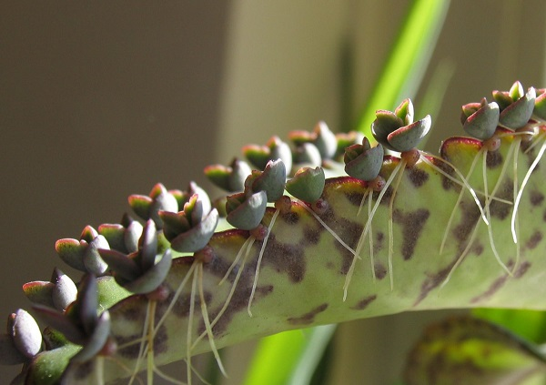 aerial roots on succulent Kalanchoe mother of millions