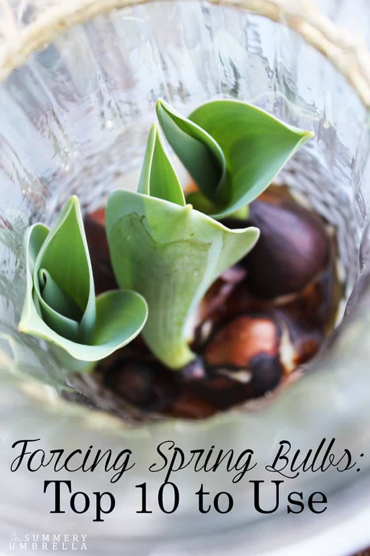 Top 10 Spring Bulbs to Force, shared by The Summery Umbrella at The Chicken Chick's Clever Chicks Blog Hop