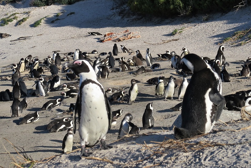 Penguins-at-Boulder-Beach-Budget-Breakdown-The-Cost-of-Solo-Travel-in-South-Africa