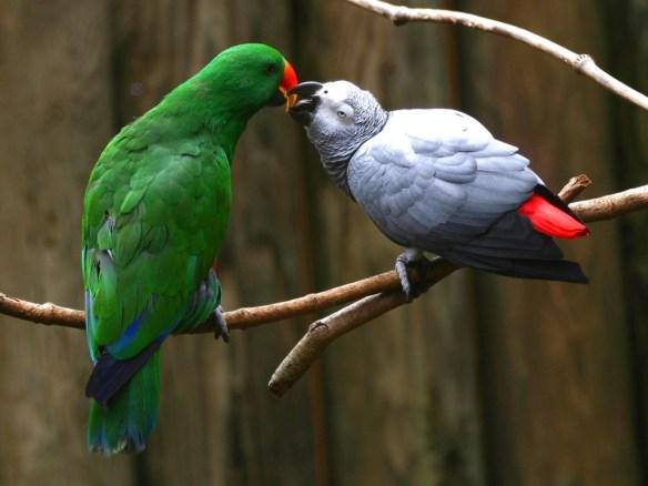 Love-Parrots-Normal