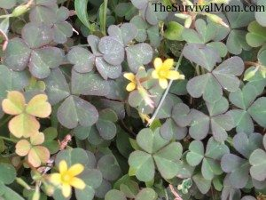 Woodsorrel is often confused with clover.
