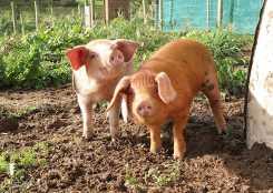 loveland pigs