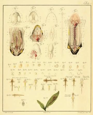 De vita salamandrae terrestris planche 3