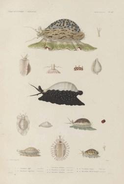 Voyage de découvertes de l'Astrolabe, exécuté par ordre du roi, pendant les années 1826-1827-1828-1829, sous le commandement de M. J. Dumont d'Urville - Page 103