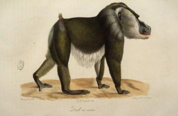 Histoire naturelle des mammifères, Wermer, Maréchal, Huet, C. de Lasteyrie, Etienne Geoffroy Saint-Hilaire, Frédéric Cuvier - 2