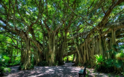 L'arbre qui marche, le grand banian de Howrah