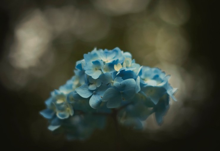 Blue Hydrangeas with dark bokeh shallow depth of field photograhed by Charlie Budd The Tall Photographer
