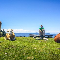 A man sitting on a wooden bench and 3 cows grazing near the Golte Resort in Slovenia