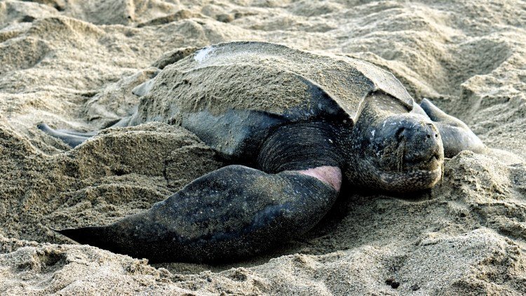 nesting leatherback turtle in the sand in Trinidad