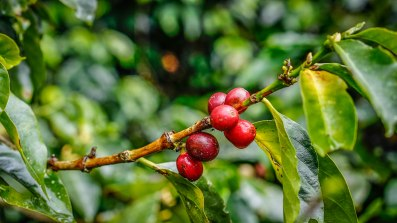 Many coffee fruits