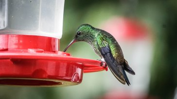 green hummingbird sipping sugar water