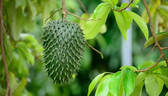 Guanabana fruit on a tree