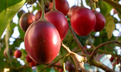 Tamarillo fruit, tomate de árbol