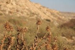 Desert flowers in the desert of Kazakhstan