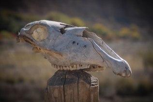 skull of an animal