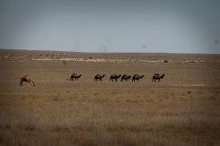 Wild Camel in Kazakhstan