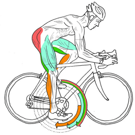 illustration of a bicycle rider and his used muscles