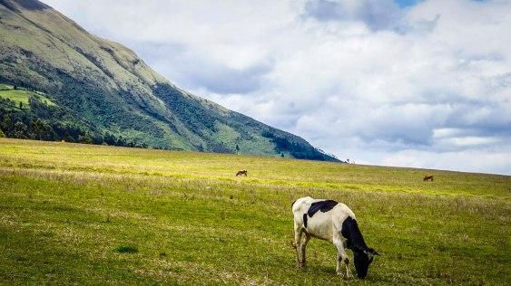 a horse grazing in the mountains of Ecuador