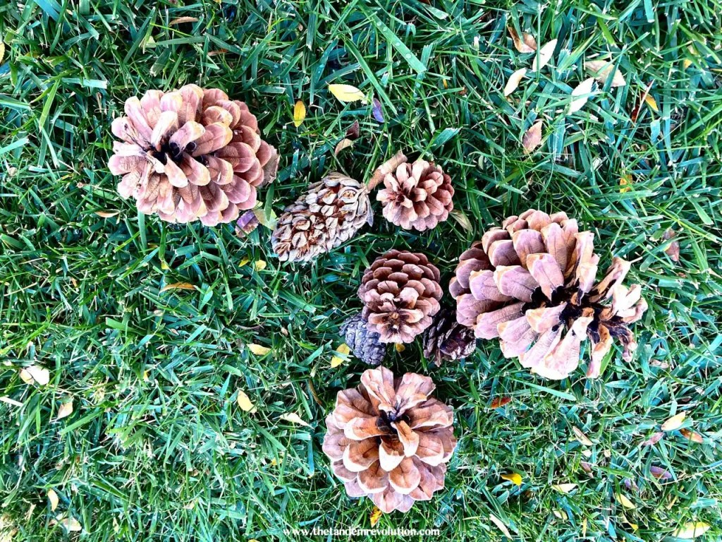 Eight pinecones on the grass.