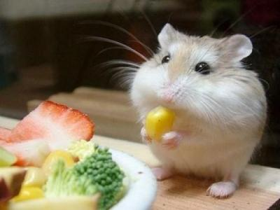 Signs Your Hamster has an Eating Disorder
