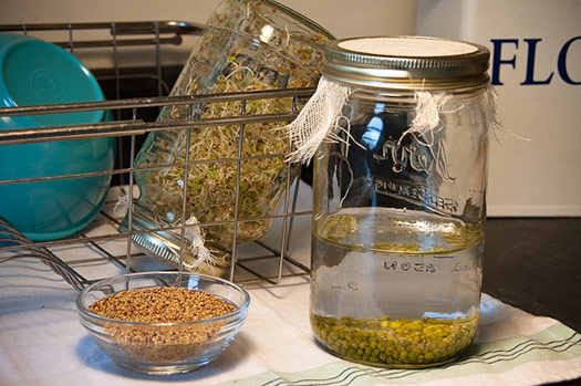 A bowl of seeds for sandwich sprouts, alfalfa sprouts in the dish drainer ready to eat, and soaking mung bean seeds.
