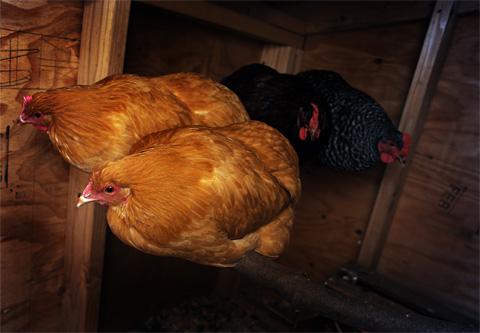 ChickensNight480