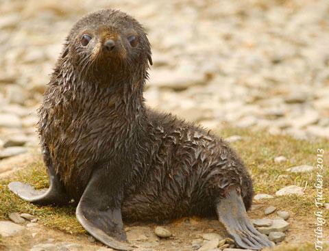 Fur-Seal-pup