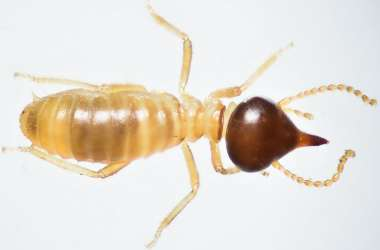 Conehead Termites