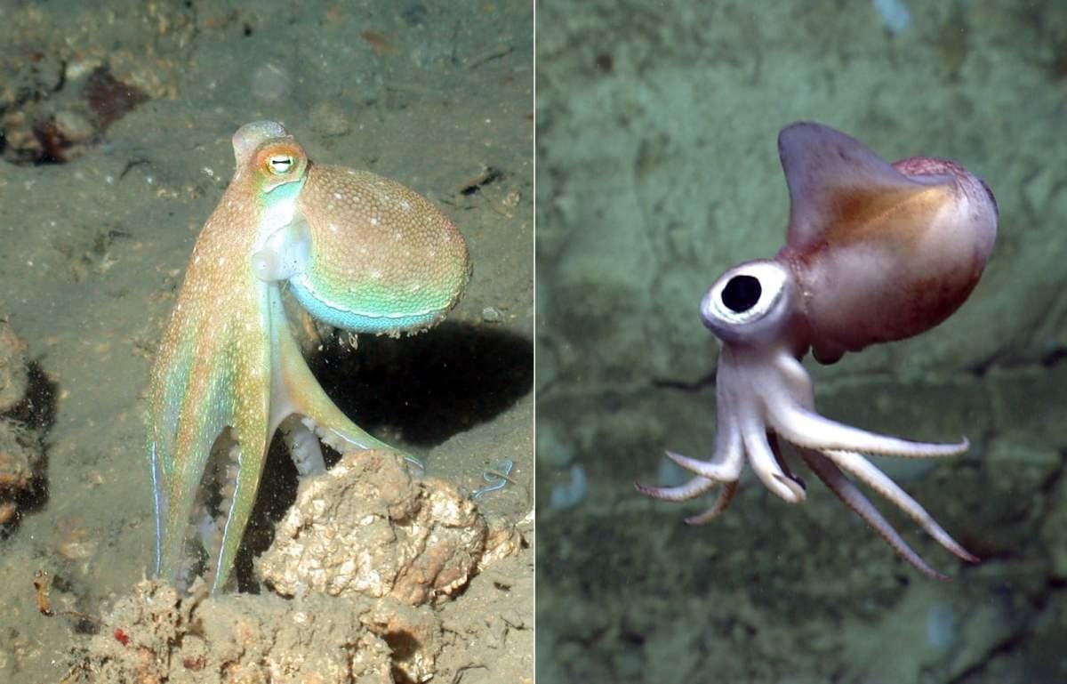 Octopus Vs Squid