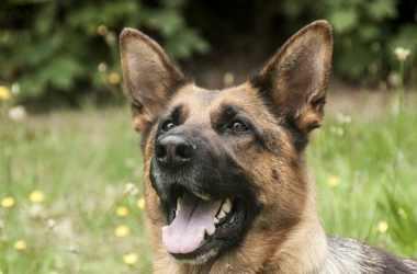 Dog's Ears