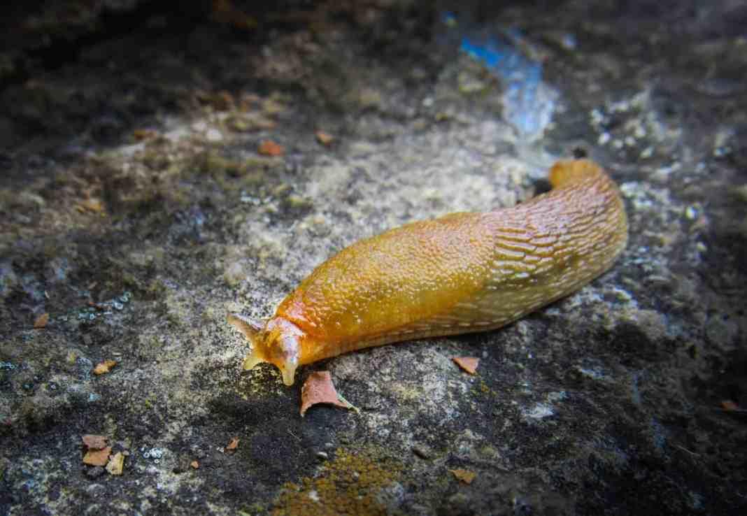 Slime of Slug