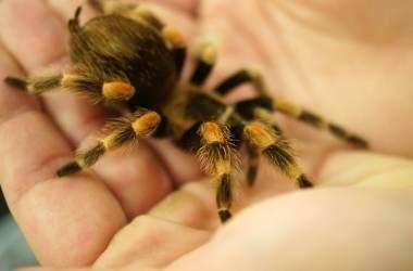 Tarantula as a Pet