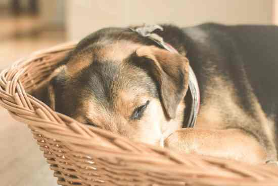 german shepherd puppy sleeping on brown wicker basket close up photo