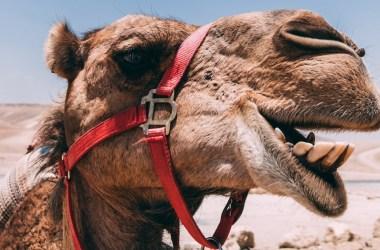 Camel Tongue Facts