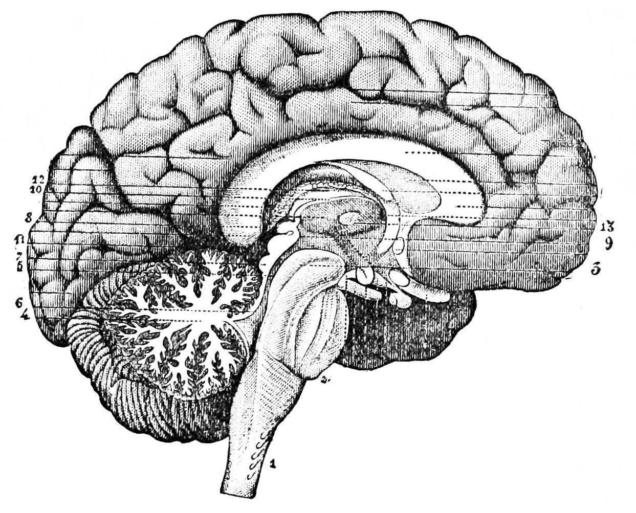 The Brain Becomes Very Flexible As A Person Learns More