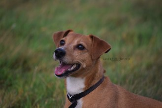 Coco, Jack Russell Terrier