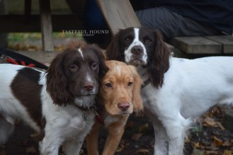 Scout, Hugo and Mia, Working Cocker Spaniels