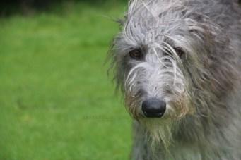 Rora, Deerhound