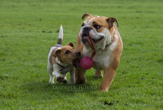 Ava, Jack Russel and Nelly, British Bulldog