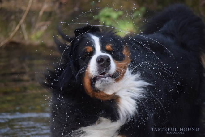 Evie, Bernese Mountain Dog