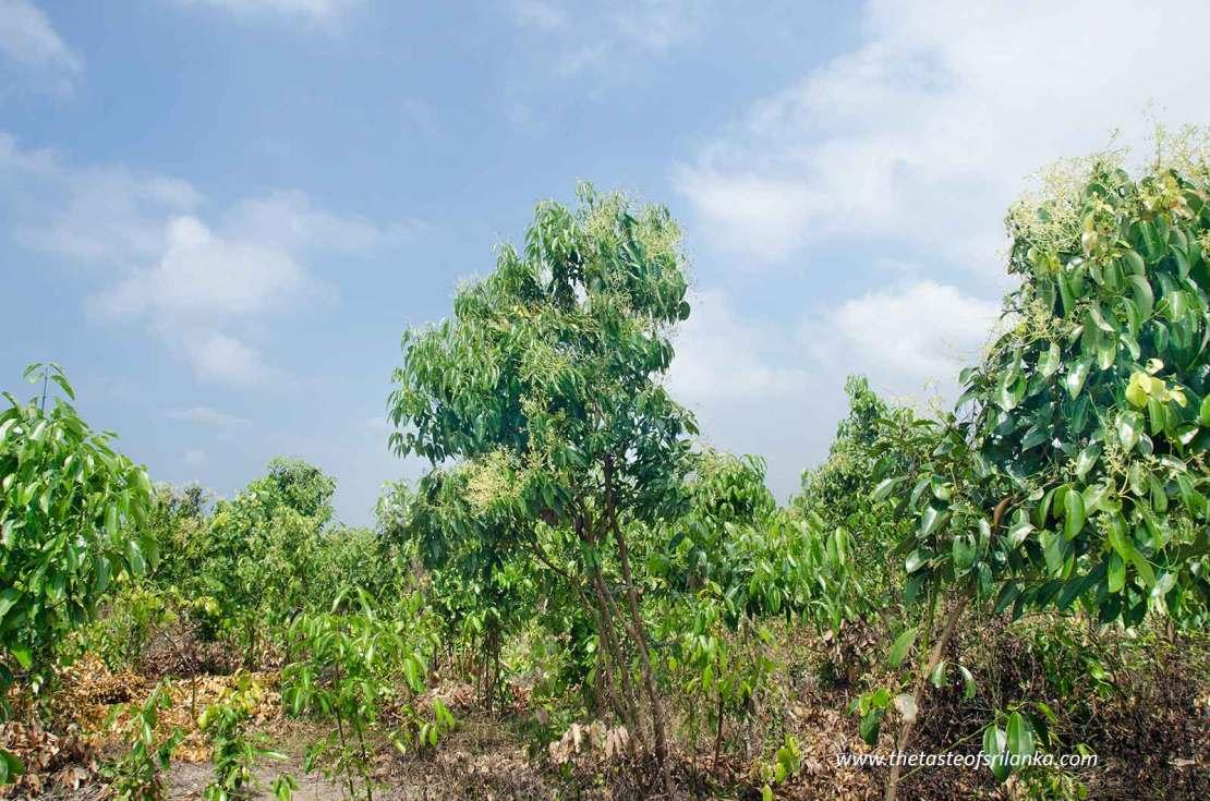Plantacja cynamonu, Sri Lanka