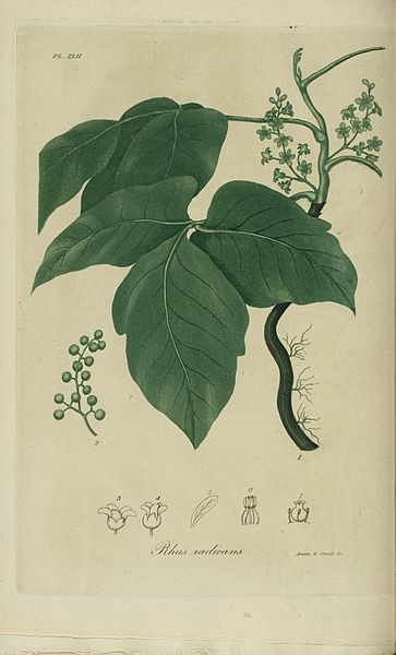 botanical picture of Poison Ivy